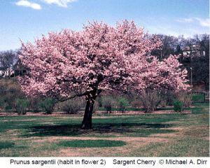 Sargent cherry