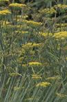 bronze fennel flower