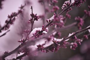 Redbuds in snow