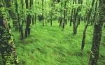 Carex pennsylvanica as a woodland groundcover
