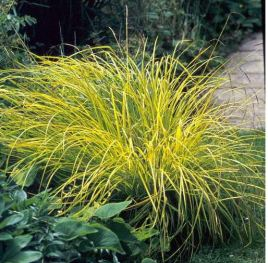 Carex Bowles Golden..
