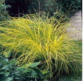 Carex Bowles Golden..