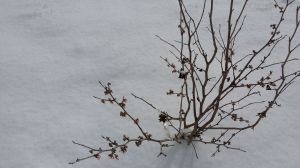 Witch Hazel blooming in snow 2. 2.16.2015 20150216_105254