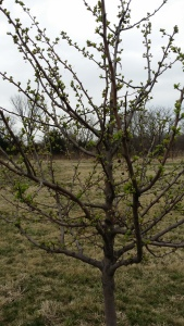 First Malus leaves spring 2015 20150324_125118