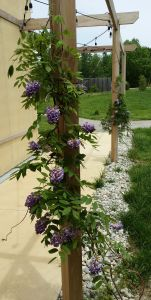 Wisteria blooming May 2015 20150519_131533