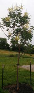 Kohlreuteria June 2015. full tree in bloom