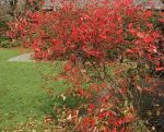 Aronia brilliantissima fall color