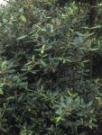 Viburnum pragense