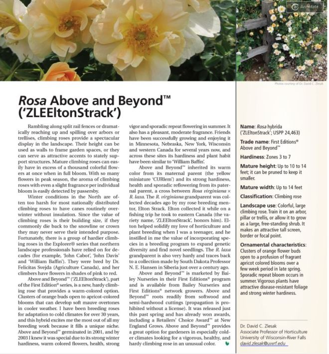 Rosa Above and Beyond in American Nurseryman Sept 2015.