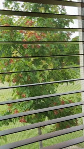 Acer Hot Wings through blinds. closeup.20160520_105928