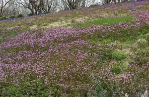 Henbit at Powell Garden 20150406_134746