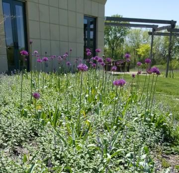 Allium w. Nepeta 20170423_142911